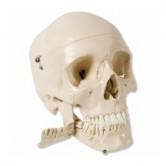 Skelette / Anat. Modelle