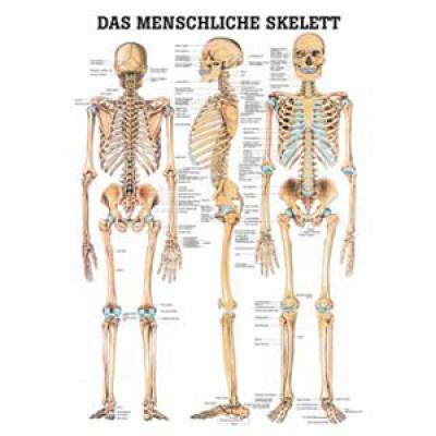 Karte Skelettsystem Format 70x100cm-8943