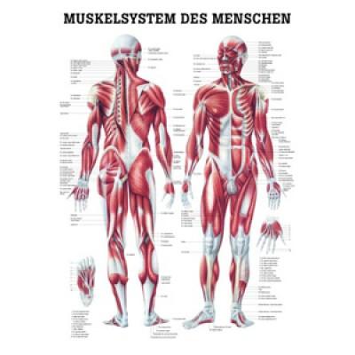 Mini-Poster Muskelsystem Format 23 x 33 cm