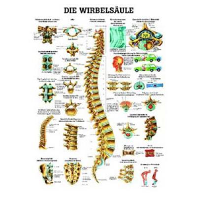 Mini-Poster Wirbelsäule Format 23 x 33 cm