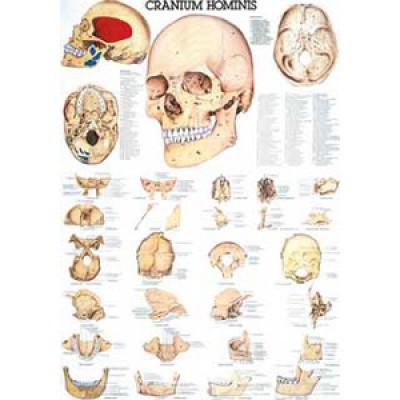 Karte menschlicher Schädel Format 70x100cm