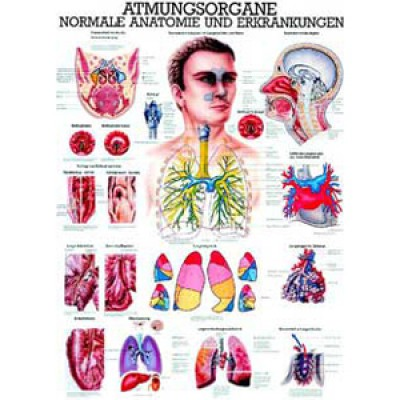 Mini-Poster Atmungsorgane Format 23 x 33 cm