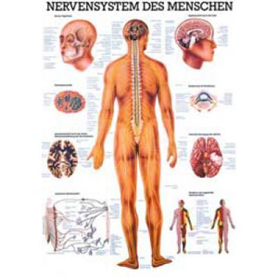 Karte Nervensystem Format 70x100cm-8949
