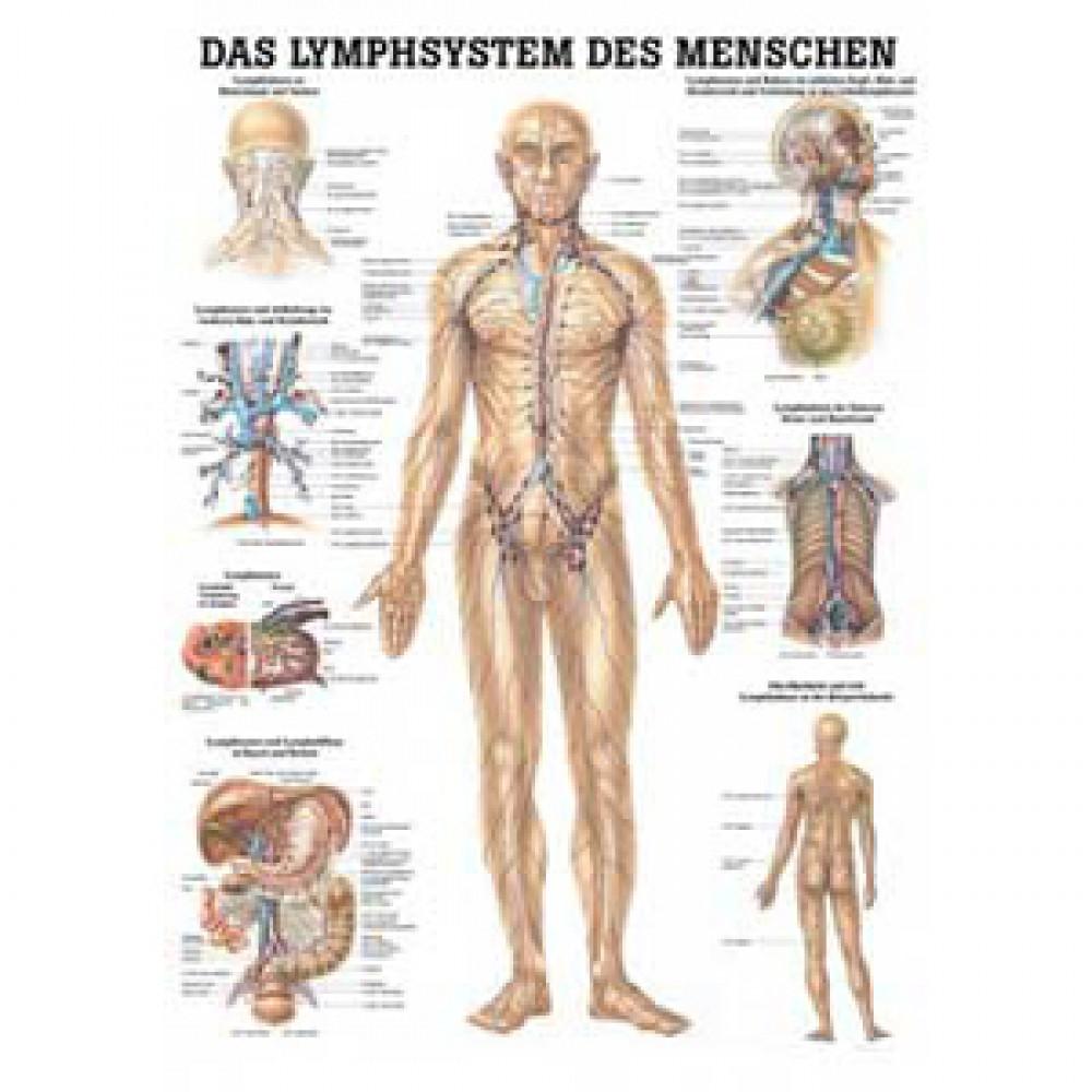 Schön Lymphknoten In Körperkarte Galerie - Menschliche Anatomie ...