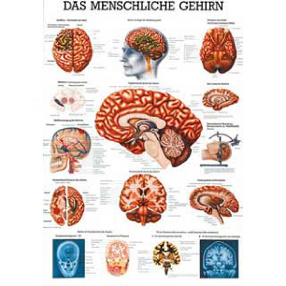 Karte das menschliche Gehirn Format 70x100cm-9610