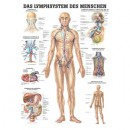 Mini-Poster Lymphsystem Format 23 x 33 cm