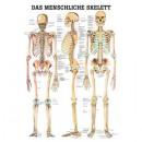 Mini-Poster Skelettsystem Format 23 x 33 cm