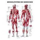 Karte Muskelsystem Format 70x100cm