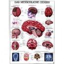 Mini-Poster Das Gehirn Format 23 x 33 cm
