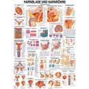 Karte Harnblase und Harnröhre Format 70x100cm *