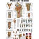 Karte Rachen u. Kehlkopf Format 70x100cm *